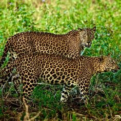 @stevewinterphoto @natgeo This was shot for my upcoming @natgeo Leopard story in the Dec 2015 issue of National Geographic Magazine.  Here is a leopard couple leaving breakfast the sun is getting hot and they are looking for some shade.  The male climbed a tree and slept for hours. The female went back from a bit more meat on their buffalo kill but was chased off by wild boar and then she climbed a tree and slept.  This is the kind of emotion that we humans feel. Our animal family  is so…