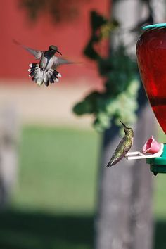 I am just beginning to see some Anna's Hummingbirds. I get a pair of Costa's Hummers every summer and boy are they mean lil buggers defending their feeder