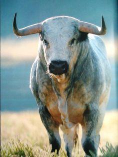 87 Mejores Imágenes De Toros De Lidia En 2019 Taurus Cow Y