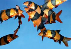 every fresh water aquarium needs loaches - we have 5 and they are like puppy dogs. Tropical Freshwater Fish, Freshwater Aquarium Fish, Aquarium Fish Tank, Fish Tanks, Tropical Aquarium, Tropical Fish, Clown Loach, Cool Fish, Aquarium Design