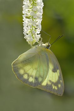 The Common Emigrant or Lemon Emigrant is a medium sized pierid butterfly found in Asia and parts of Australia. The species gets its name from its habit of migration. Wikipedia. Scientific name: Catopsilia pomona