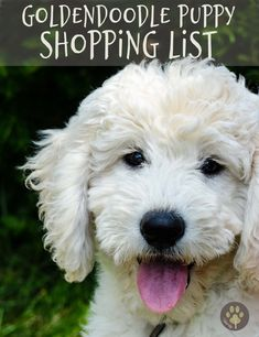 new puppy shopping list English Goldendoodle, Mini Goldendoodle Puppies, Mini Puppies, Goldendoodles, Standard Goldendoodle, Aussie Puppies, Poodle Puppies, Labradoodles, Training