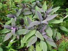 Шалфей лекарственный (лат. Salvia officinalis)