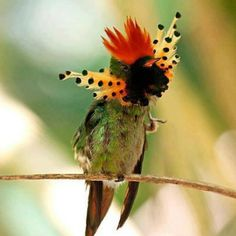 Tufted Coquette hummingbird: Spectacular red-topped Tufted Coquette occurs across northern South America, and it's a highlight of every trip to the Asa Wright Nature Centre on the island of Trinidad, where IPMCanada snapped this photo. Pretty Birds, Beautiful Birds, Animals Beautiful, Cute Animals, Kinds Of Birds, All Birds, Love Birds, Exotic Birds, Colorful Birds