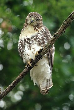 Red-tailed Hawk...Imagine God and all that we see is His!