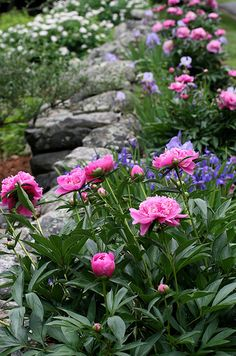 peony and iris border by Muffet, via Flickr-0-Idea for in front of the vegetable garden