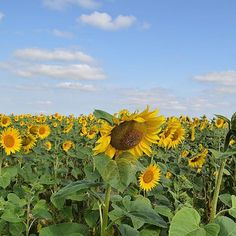 Sunflowers in blossom #sunflowers #ukraine #travelukraine #tour #trip #travel #vacation #tripadvisor #getyourguide #likealocal #bookmundi #summertravel #reisen #travelbycar #ウクライナ #ツアー #旅行