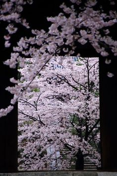 満開の桜につつまれた京都金戒光明寺の山門