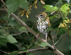 Fight Acid Rain With Your Pen (This Wood Thrush Will Thank You)