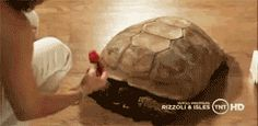 love my tortoise but my one is only very little and never grows that big than Bass from Rizzoli & Isles <3