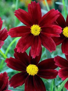 Bright and cheery, Coreopsis perennials make great cut flowers. Fill your garden and attract butterflies with Coreopsis flowers from Bluestone Perennials. Coreopsis Flower, Flowers Perennials, Cut Flowers, Yellow Flowers, Beautiful Flowers, Flower Beds, Flower Crown, Rose Floral Crowns, Hillside Garden