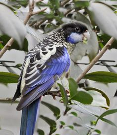 The Northern Rosella (Platycercus venustus), also known as Brown's Parakeet or Smutty Rosella, is found in Australia's Top End. It is unusually coloured for a rosella, with a dark crown and white cheek.