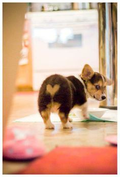 I heart Corgi butts. #corgi Source: https://www.facebook.com/photo.php?fbid=10152543938500459=o.104617983090=1