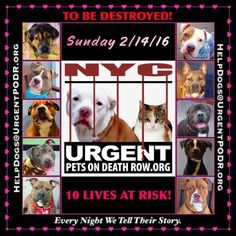 TO BE DESTROYED 02/14/16 - - Info  Please Share:   Please Share! Please Share: -  Click for info & Current Status: http://nycdogs.urgentpodr.org/to-be-destroyed-4915/
