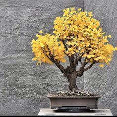Bonsai Gingko Tree, one if my favorite trees