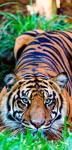 Eye(s) of the Tiger #by Scott Pham #wildlife wilderness animal nature big cat