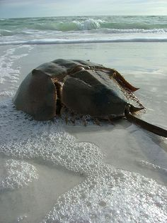Living Fossil The earliest horseshoe crabs were found 450 million years ago as fossils in strata. Many think of them as crabs and crustaceans when in fact they are more related to spiders and scorpions. Under their enormous shell, their bodies also look more like those of spiders.