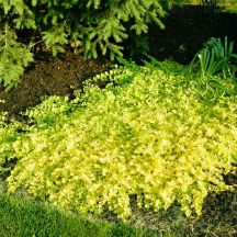'Creeping Jenny'. Some people call it moneywort which sounds awful! I have this with red geraniums and white verbena.