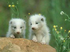 Baby Arctic Foxes
