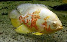 The Tiger Albino Oscar Fish. Like having a pit bull in tank. Tropical Freshwater Fish, Freshwater Aquarium Fish, Tropical Fish, Cichlid Fish, Cichlids, Oscar Fish, Saltwater Aquarium Fish, Fishing World, Salt Water Fish