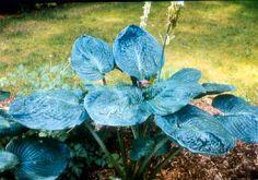 Planting tips for Hostas
