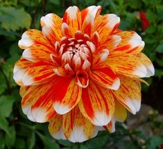 Be-A-Sport This one of my all time favorites, light orange flower splashed with red, and white tips.