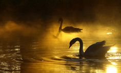 swan song in the enchanted forest Beautiful Swan, Beautiful Birds, Beautiful World, Misty Forest, Autumn Scenes, Swan Song, Glamour Shots, Swan Lake, Heaven On Earth