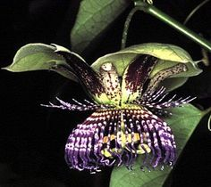 Sweet Calabash Passion Flower 15 Seeds- Passiflora by Hirts: Seed; Vines & Groundcovers, http://www.amazon.com/dp/B000S6RRA2/ref=cm_sw_r_pi_dp_.rYqrb06K282V