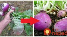 Zabudnutá zelenina našich dedov lieči cievy, zrak aj slabé kosti: Vysejte ju v auguste a úrodu zberáte v októbri – zázrak, ktorý rastie ako z vody!