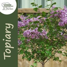 Buy Syringa meyeri Palibin Lollipop (Korean Lilac) online from Jacksons Nurseries Syringa, Topiary, Nurseries, About Uk, Balcony, Lilac, Korean, Plants, Babies Rooms