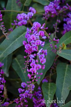 Purple Lilac Vine (Hardenbergia violacea) grows well in zone 9 and blooms all witner and has wonderful grown coverage, or goes up on a trellis. This will be in my garden!
