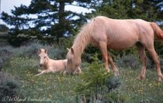 Baby Cloud and his mother Phoenix in May of Both are still alive in 2015 All The Pretty Horses, Beautiful Horses, Types Of Horses, Wild Spirit, Wild Mustangs, Horse World, Palomino, Wild Ones, Equine Photography
