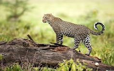 Backgrounds In High Quality - leopard pic - leopard category