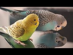 Budgie Sounds - Cookie singing to Biscuit - YouTube