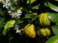 Gefurchte Pomeranze (Citrus aurantium corugato)