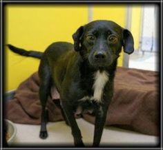 Petango.com – Meet Midnight, a 3 years Retriever, Labrador / Mix available for adoption in ROCHESTER, MN Gave birth shortly after arrival, two of her pups being Daylight & Twilight.