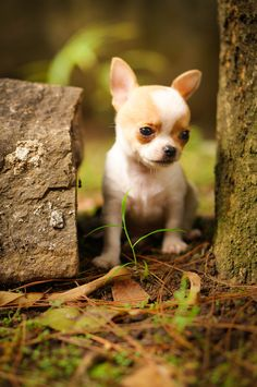 Tiny brown & white male chihuahua shorthair...he has very short body that make him look cute