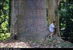 Local gardener sitting on root Queensland Kauri pine tree Agathis robusta, tree from Australia, Peradeniya Botanical Garden, Kandy, Sri Lanka