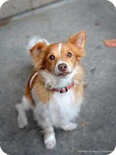Fremont, CA - Spaniel (Unknown Type)/Terrier (Unknown Type, Medium) Mix. Meet Harry D3082, a dog for adoption. http://www.adoptapet.com/pet/12055117-fremont-california-spaniel-unknown-type-mix