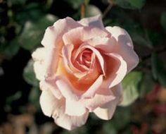 Les Rosiers Belmontais - Spécialiste du rosier - André le nôtre ® meiceppus (MEILLAND)