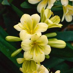 Clivia miniata, (TK Yellow x Hirao) x Hirao Green Flower.  Colorado Clivia's plant number 1976D.