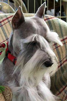 Miniature Schnauzer!! What pretty eyebrows & beard :)  Gotta show this to my Aunt = Molly can have a beard!! Lol!!