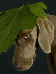 William Wegman, Green Beret, 2005