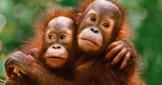 The orangutan population on the island of Borneo has shrunk by a quarter in the last decade, researchers, urging a rethink of strategies to protect the critically-endangered great ape. Primates, Mammals, Animals And Pets, Baby Animals, Cute Animals, Borneo, Save The Orangutans, Bornean Orangutan, Frans Lanting