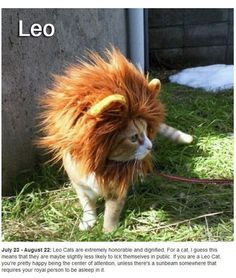 Bwahahahaha! Leo Cat almost looks like a real miniature lion!
