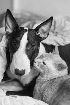 #Bullterrier and cat friendship
