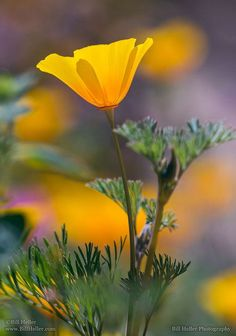 The lovely California State Flower ~ California Poppy Wonderful Flowers, Beautiful Flowers, Beautiful Gorgeous, Beautiful Images, Flowers Nature, Wild Flowers, Colorful Flowers, Bokeh Photography, Primroses