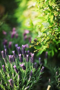 Lavender in a herb garden. By kkgas Available to license exclusively at Stocksy