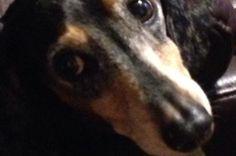 Wando the Wild Wiener... on GoFundMe - $320 raised by 6 people in 2 days.