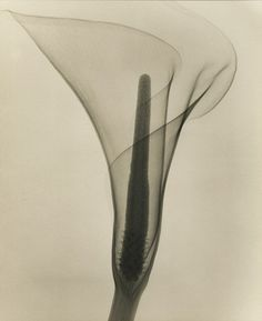 Dain Tasker, Lily, 1930 - x-ray photography